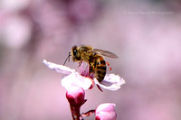 Spring Bee on Flowering Plum